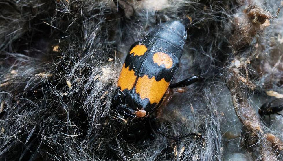 Уничтожение падали Nicrophorus vespilloides