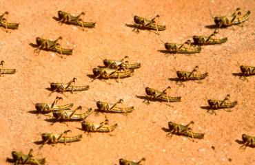 Саранча пустынная