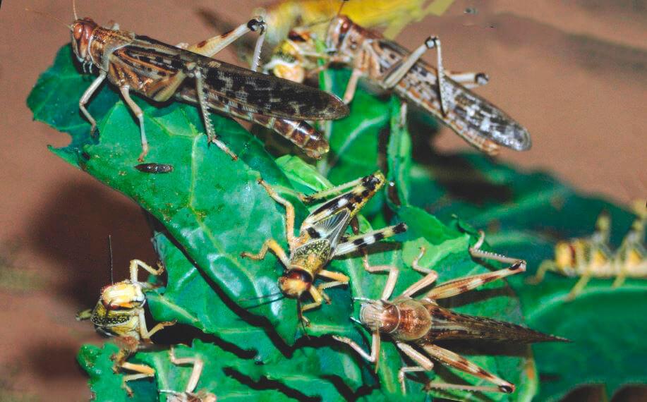 Пожирающая зелень саранча пустынная