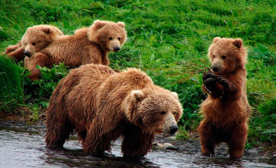 Семья Медведя бурого евразийского