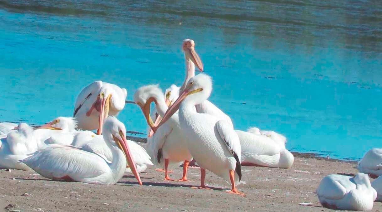 Мирное сосуществование пеликанов розовых