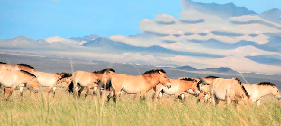 Табун лошадей Пржевальского