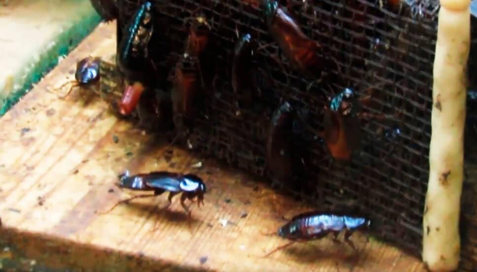 ночная прогулка тараканов черных