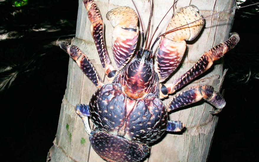 Внешний вид краба пальмовый вор