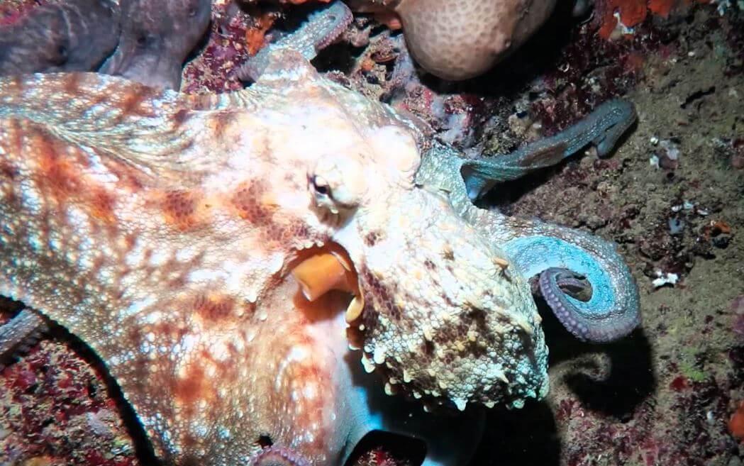 Морской интелектуал Octopus vulgaris