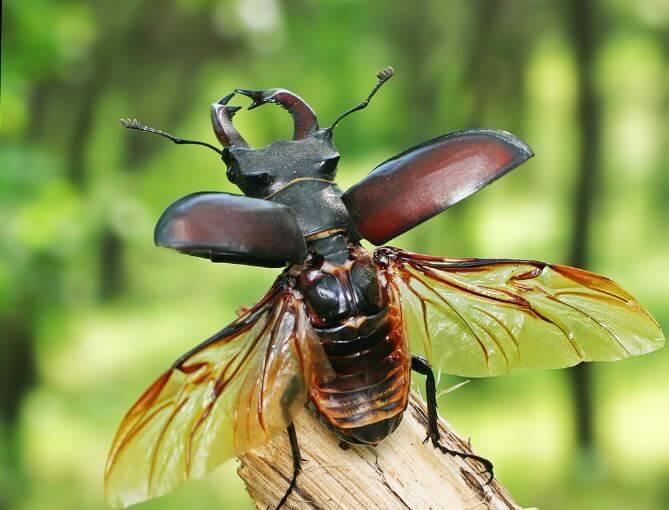 взлетающий жук-олень
