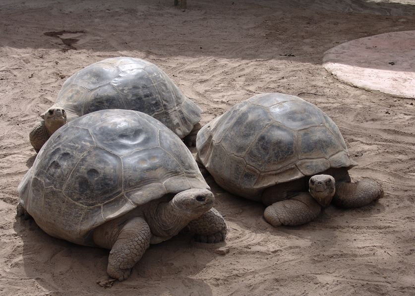 229 Слоновая черепаха