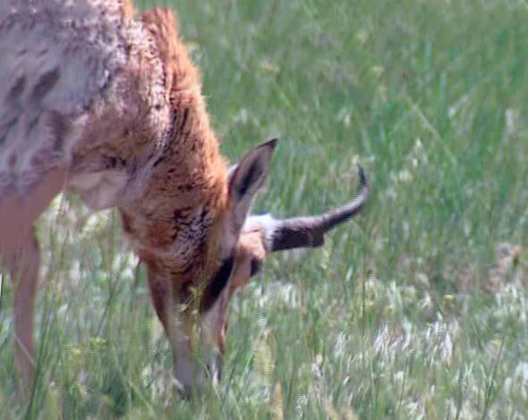Антилопа вилорогая на летнем пастбище