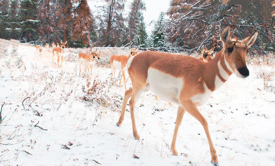Стадо антилоп вилорогих зимой