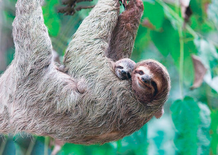 Бурогорлый ленивец с детёнышем