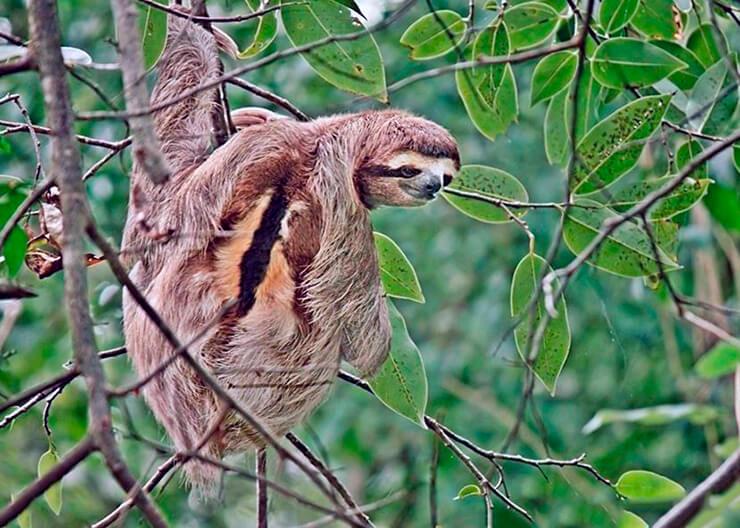 Бурогорлый ленивец фото