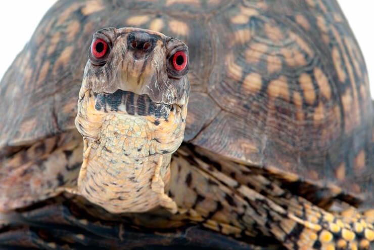 Голова черепахи коробчатой