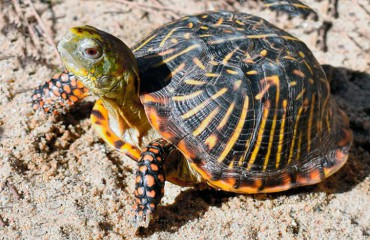 Черепаха коробчатая