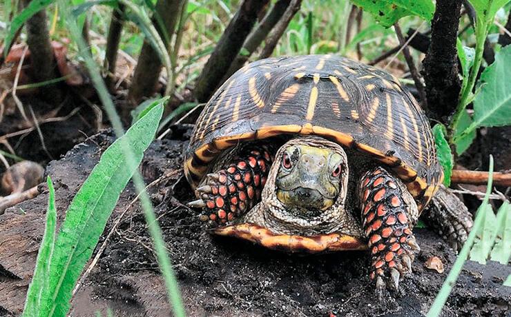 Прогулка черепахи коробчатой