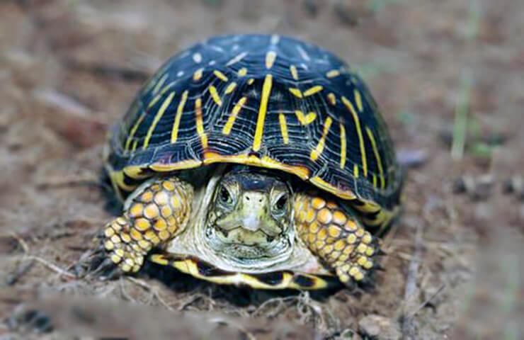 Черепаха коробчатая спряталась
