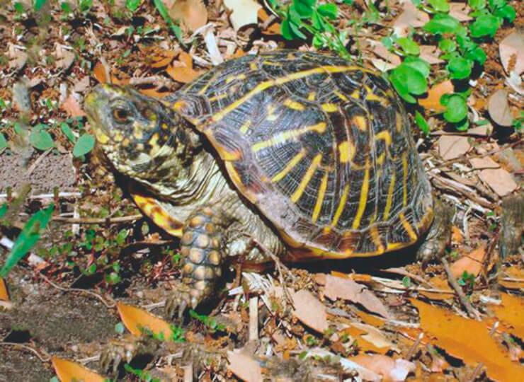 Черепаха коробчатая фото