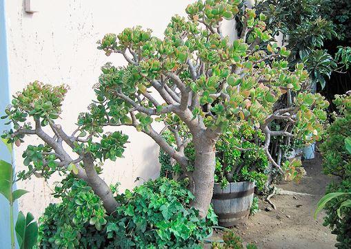 Денежное дерево в саду