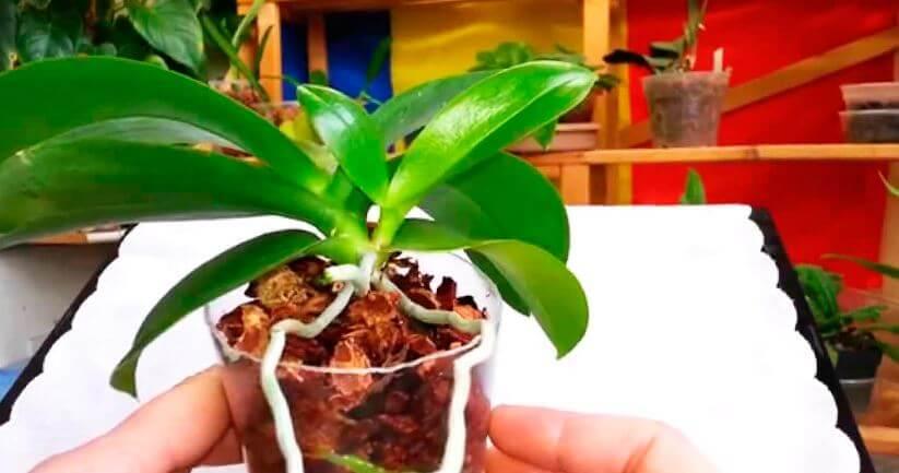 falenopsis peresadka Фаленопсис