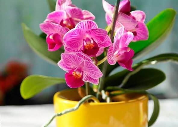 Фаленопсис цветёт