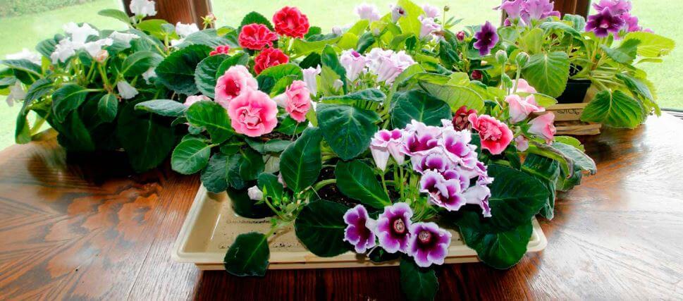 Многообразие расцветок глоксинии