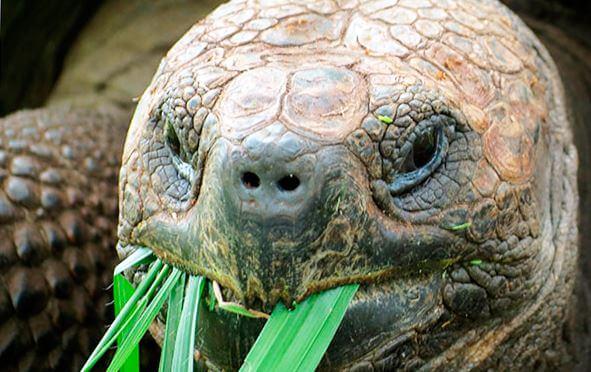 Слоновая черепаха с зеленью
