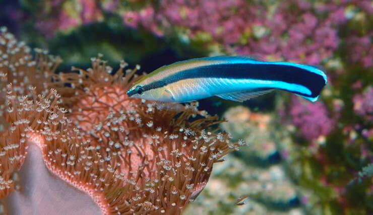 Губан-чистильщик на коралловом рифе