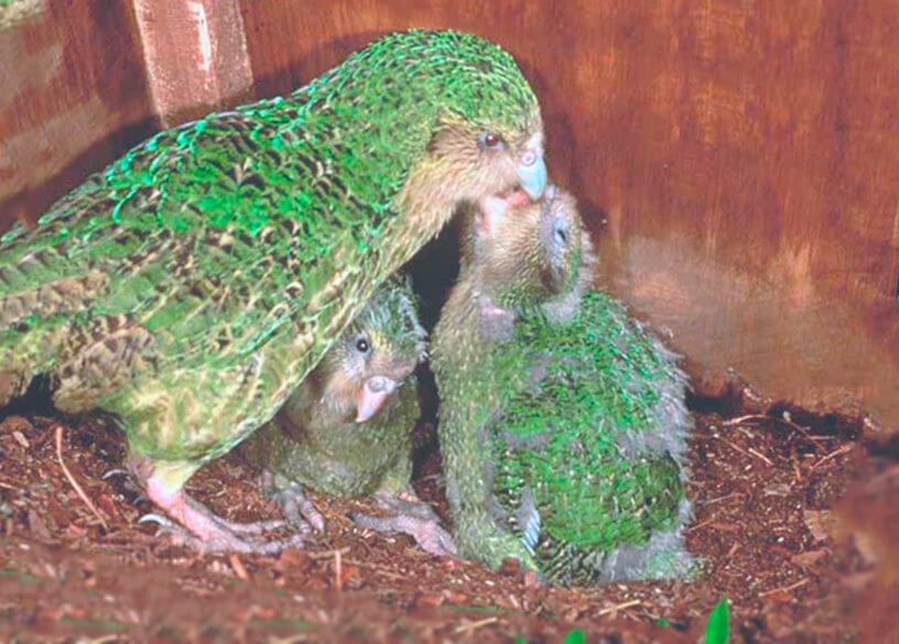 Какапо кормит птенцов