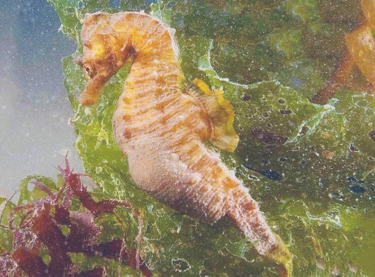 Конек морской европейский среди растений