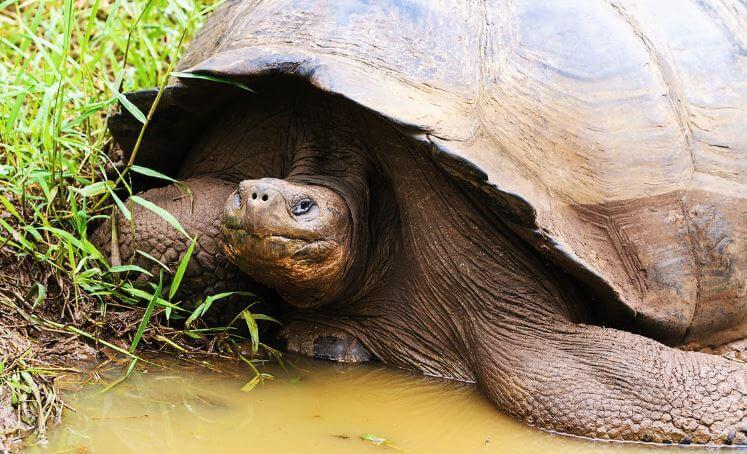 Слоновая черепаха возле ручья