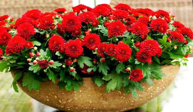 Фото красной хризантемы