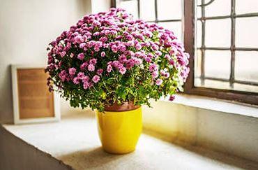 Фото комнатной хризантемаы в вазоне