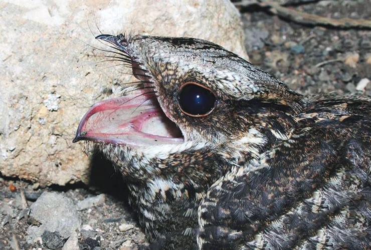 Раскрытый клюв козодоя обыкновенного