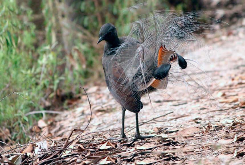 Лирохвост обыкновенный пытается взлететь