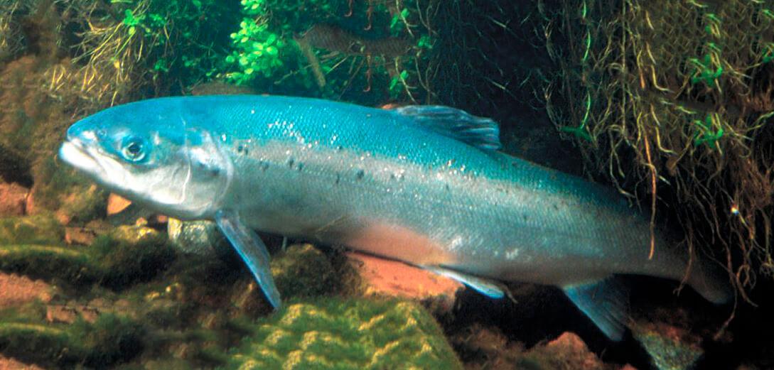 Картинка с лососем атлантическим