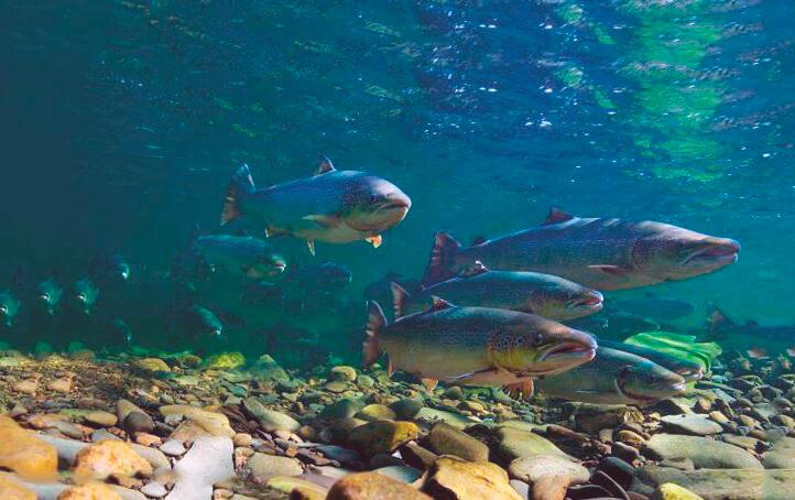 Стая лосося атлантического