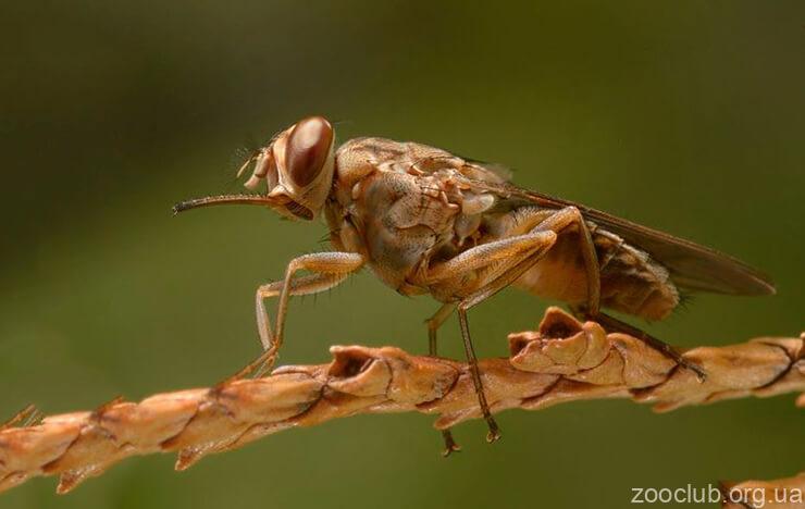 Фото мухи цеце
