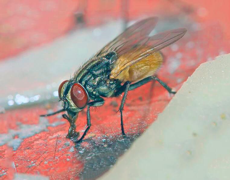 Всасывание пищи мухой домашней
