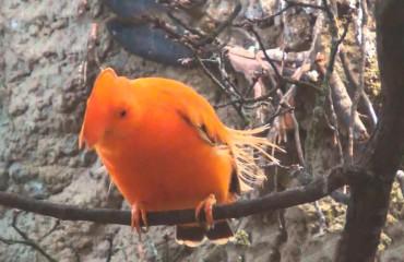 Петушок гвианский скалистый