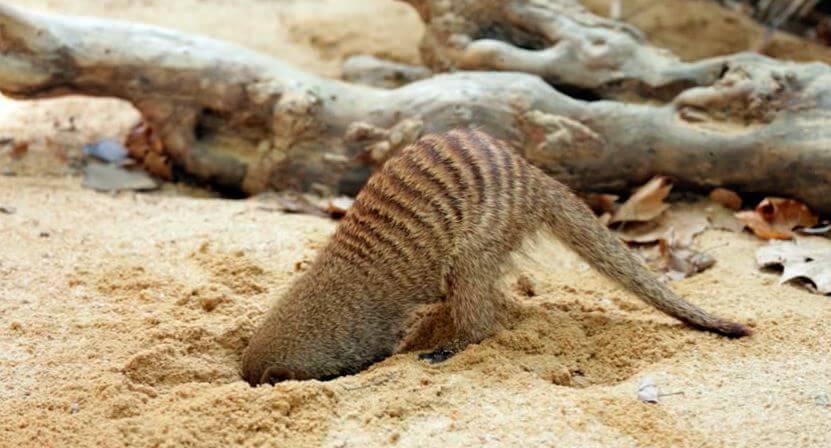 Полосатый мангуст роет нору
