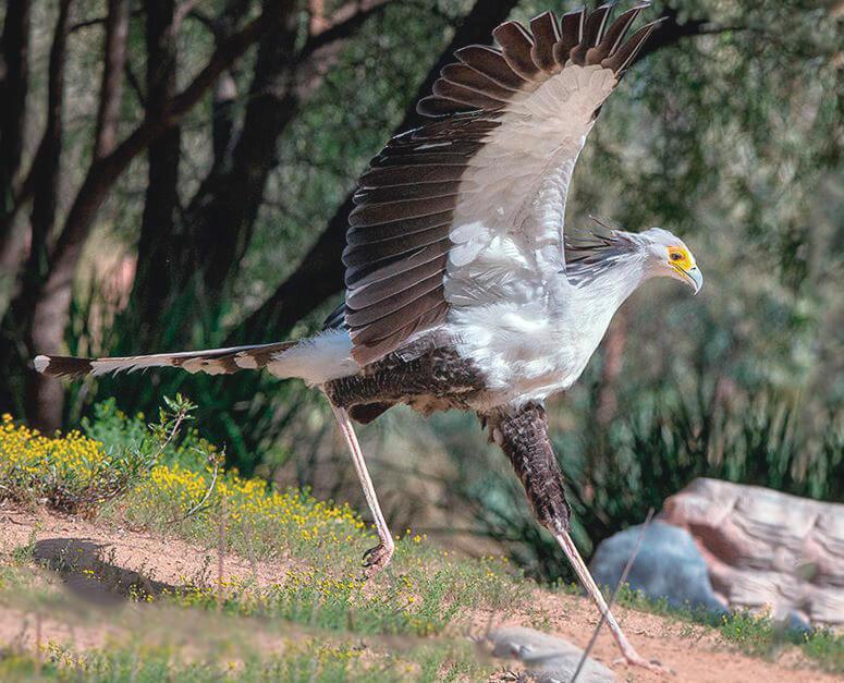 Поиск пищи птицей-секретарём