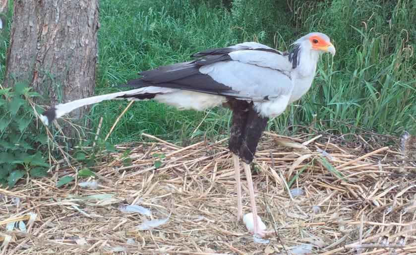 Гнездо птицы-секретаря