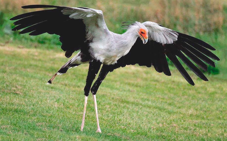 Птица-секретарь на лугу