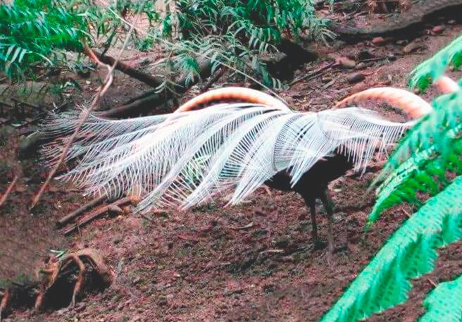 Самец лирохвоста обыкновенного