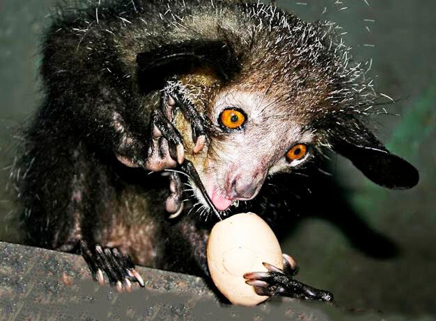 Руконожка мадагаскарская добывает еду