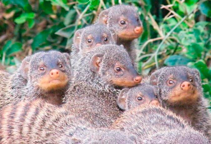 Семейство полосатых мангустов