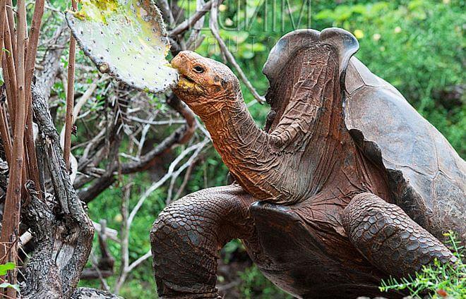 slonovaya cherepaha est travu Слоновая черепаха