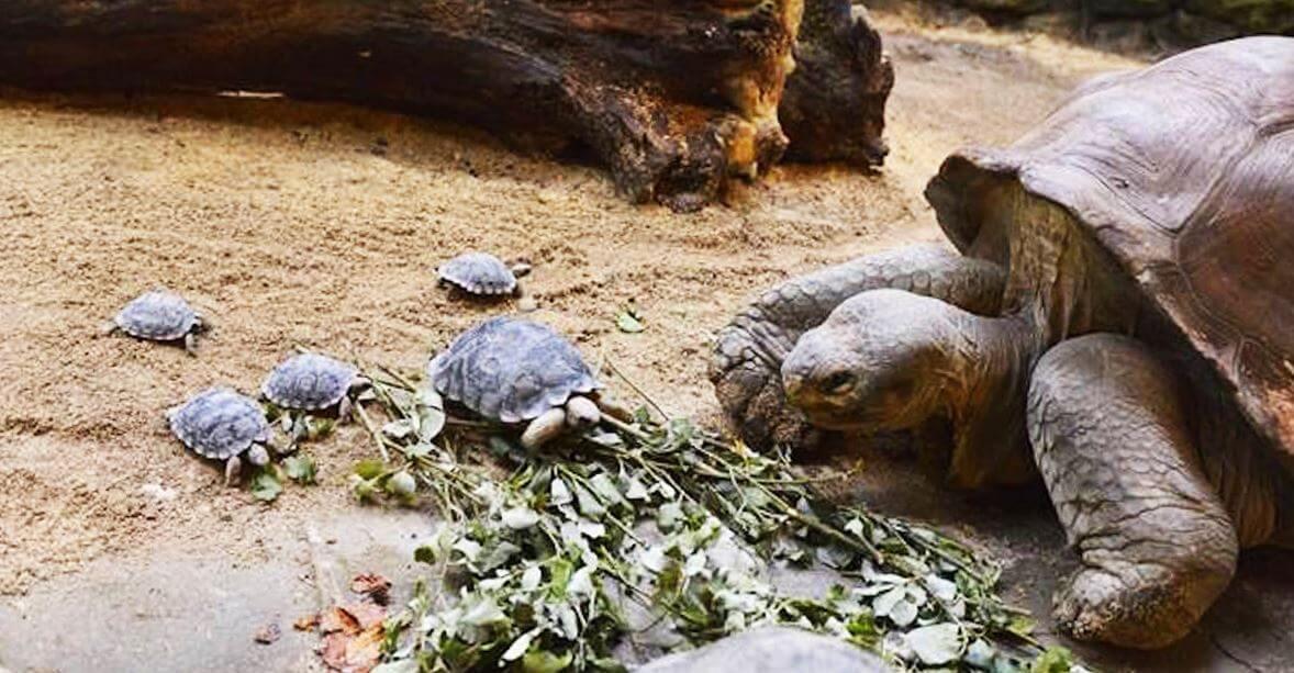 Маленькие слоновые черепахи