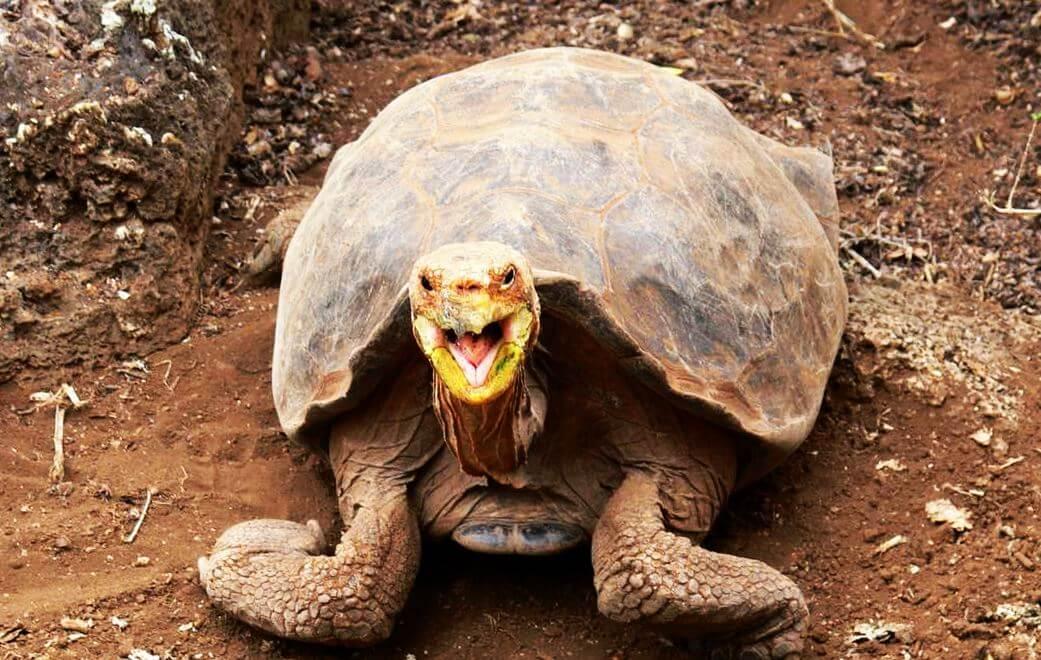 Смех слоновой черепахи