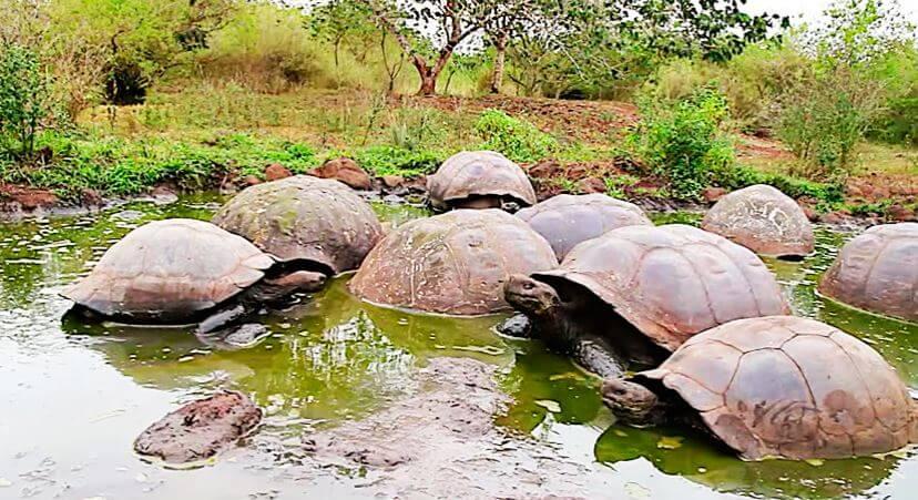 Слоновые черепахи фото