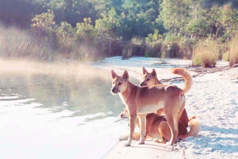 Собаки Динго на берегу реки